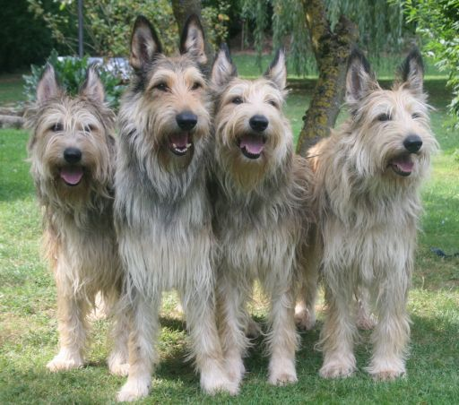 Berger Picard Rare Dogs Dog Breeds Dogs
