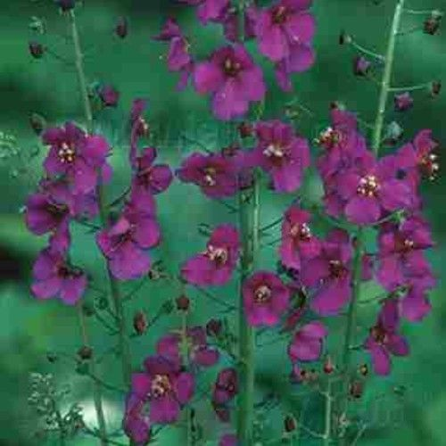 Königskerze ( Verbascum phoeniceum ' Violetta ' ) | eBay