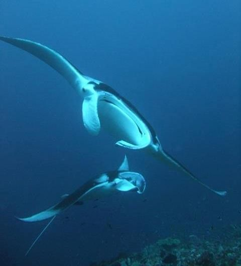 Scientists rush to save manta rays, the 'pandas of the ocean' - Behind The Wall