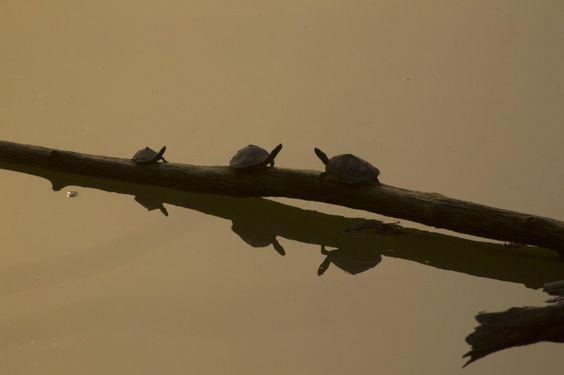 Tortoises bask in the early morning sun at Kaziranga National Park, Assam.