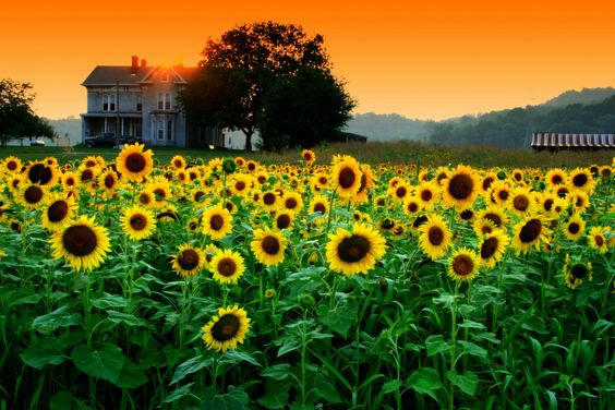 Sunflowers + Sunsets = perfection