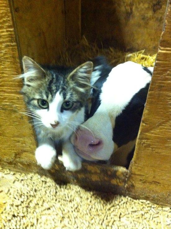 Cat & Cow. Omg so cute