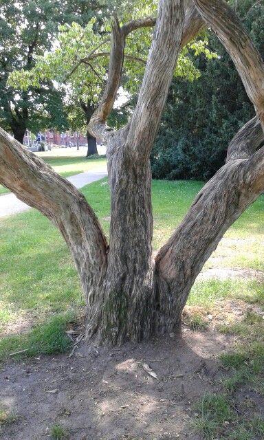 Alter Baum im Schloßpark, Winsen Luhe