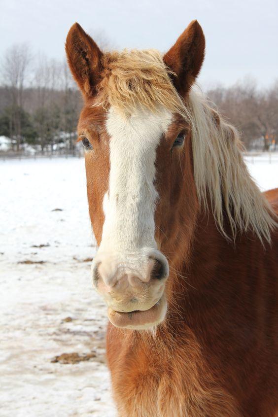 Belgian horse: