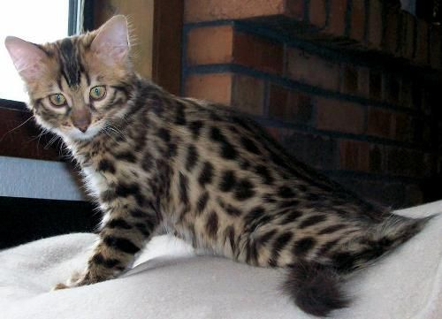 Great Cost Free Cashmere Bengal Cats Style Initially When It