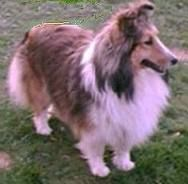 Sheltie, not really a herding dog, but so cute.