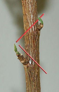 Um einen neuen Zweig nach links wachsen,  über dem Knoten auf der linken Seite abgeschnitten.  Um einen neuen Zweig machen nach rechts wachsen,  über dem Knoten auf der rechten Seite abgeschnitten.