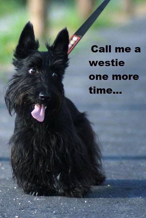 I'm a Scottie, not a Westie!