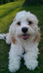 Louie is an adoptable Cavalier King Charles Spaniel Dog in Oakdale, MN. Louie is a 2 year old Cavachon. He was surrendered by a very nice family- they realized he deserved more family time than they c...