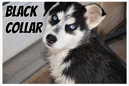 Litter Of 8 Siberian Husky Puppies For Sale In Chandler Az Adn