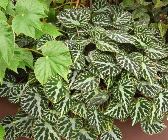 Begonia 'Silver Jewel':