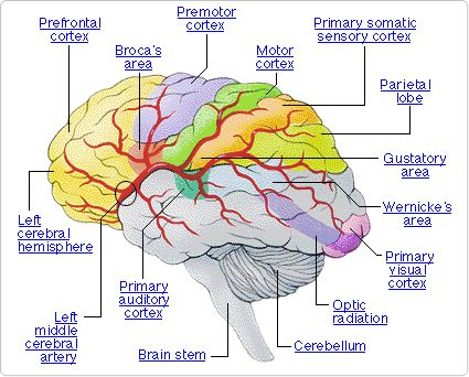 Diagram of the brain. Click on the link to see a description of the ...