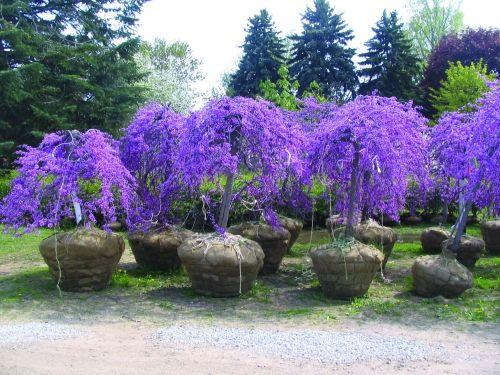 lavender twist covey landscaping pinterest twists. Black Bedroom Furniture Sets. Home Design Ideas