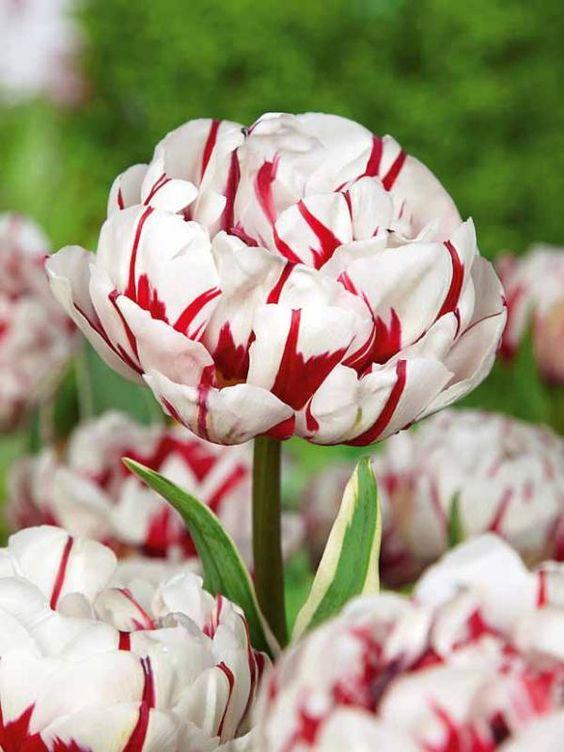 #Tulipes à fleurs de pivoine 'Carnavalde Nice'
