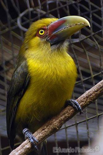 All sizes | Saffron Toucanet / Araçari-banana (Pteroglossus bailloni) | Flickr - Photo Sharing!