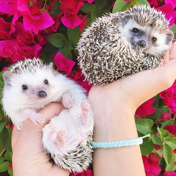 Our favorite hedgehogs x @ollieandpals