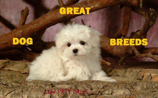9 Great Dog Breeds With Low Prey Drive Plus Which Breeds To Avoid Dog Breeds Dogs Dog Training Obedience