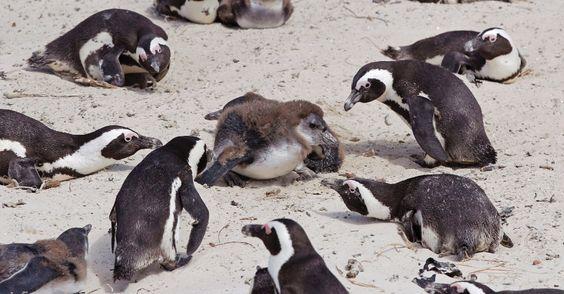 2011: Pinguins migram do Cabo da Boa Esperança, na África do Sul, devido às mudanças climáticas