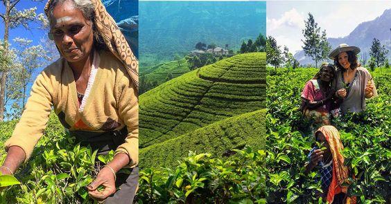 Tea plantation in Sri Lana