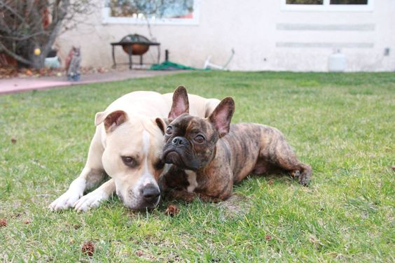 Sweet Rad-Lee (Frenchton) and Nala.