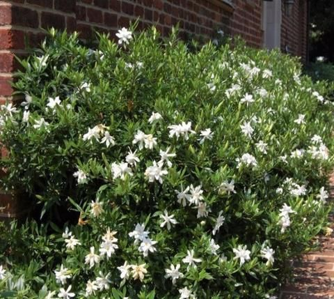 Frost Proof Gardenia With Images Live Plants Garden Chores