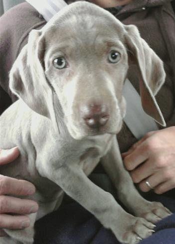 Molly, my weimaraner, as a pup!