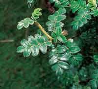 El coloradito, del género Polylepis, es uno de los árboles que habita a mayor altitud; su utilización como leña ha reducido las poblaciones....