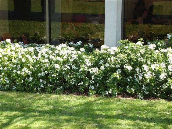 CHOISYA ternata, oranger du mexique. Arbuste persistant, à la floraison blanche odorante, et au feuillage vert brillant odorant également. L'odeur dégagée rappelle celle des fleurs d'oranger. La floraison se fait en deux fois, une première fois au printemps, et une deuxième fois en fin d'été.