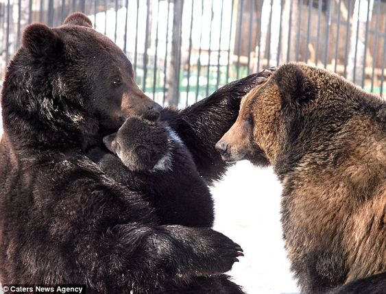 brown bear family - baloo, diva and masha - primorsky krai zoo, russian far east ( http://about-worldnews.blogspot.com/2011/04/from-russia-with-love-doting-father.html )