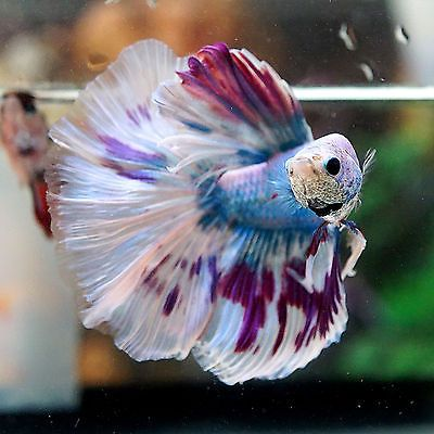 Live betta fish male fancy cool blue gizzle big one for Biggest betta fish