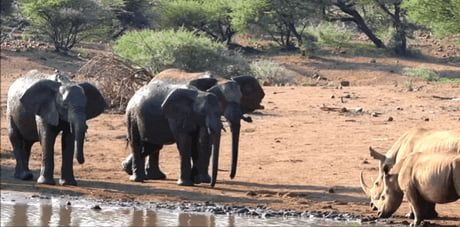 This cheeky elephant throws a rock and splashes a young rhinoceros