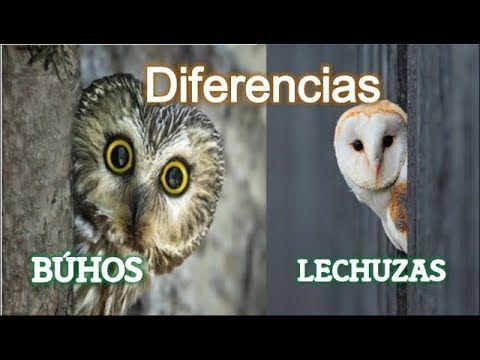 Diferencias Entre Los Buhos Y Las Lechuzas Youtube Lechuzas