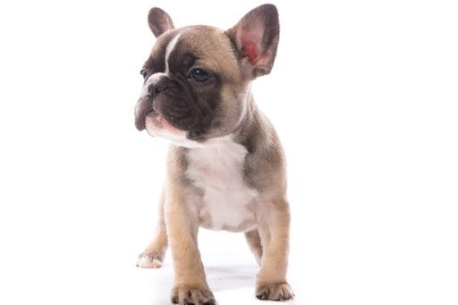 Litter Of 6 French Bulldog Puppies For Sale In Gretna La Adn