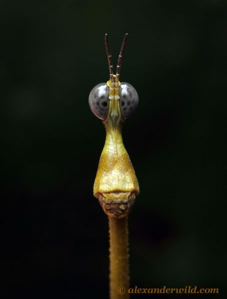 Jumping Stick Insect Looks Like a Sci-Fi Character