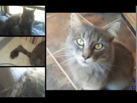 Healing Chronic Diarrhea Rectal Prolapse In Cat With Natural Remedies In 4 Days Youtube Rectal Prolapse Rectal Natural Remedies