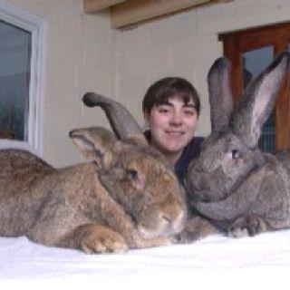 flemish giant rabbit and dog - photo #16