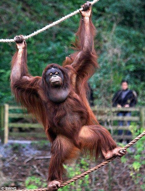 bornean orangutan female