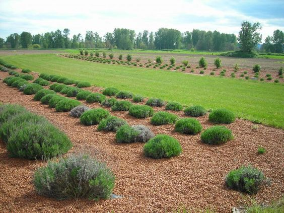 Lavender field. There are hazelnut shells surrounding the lavender.