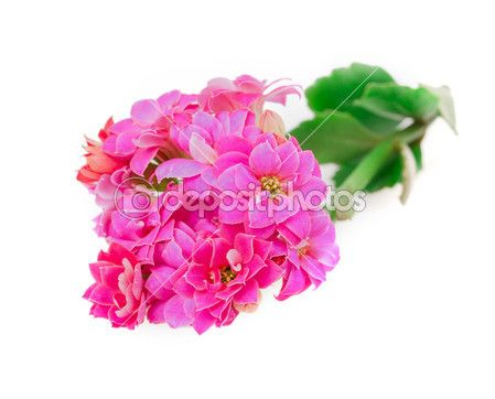 Kalanchoe blooms