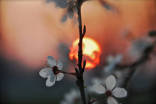 Sun setting behind the blossoms.