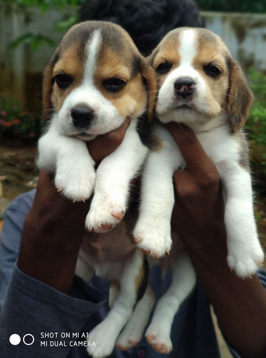 Direct Champion Beagle Puppy Available In Alappuzha Kerala Cont