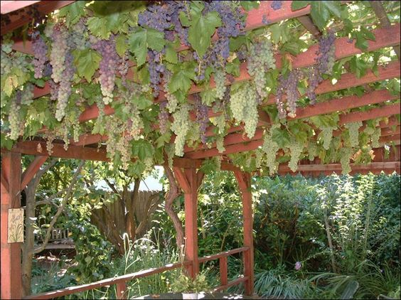 arbor with grapes growing on it