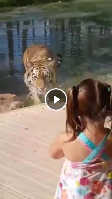 Tigre se aproxima de menina.