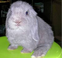 There is such thing as a lilac bunny, I NEED ONE!