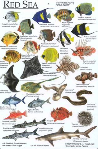Fish identification chart egypt water dwellers for Ocean fish names