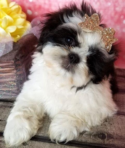 Sadie Shih Tzu Puppy Puppyspot Shih Tzu Puppy Puppies Shih Tzu Dog