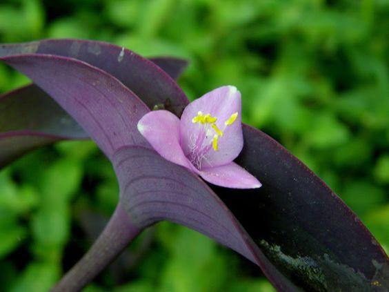 Consejos para cuidar y propagar la Setcreasea o Tradescantia pallida   Plantas
