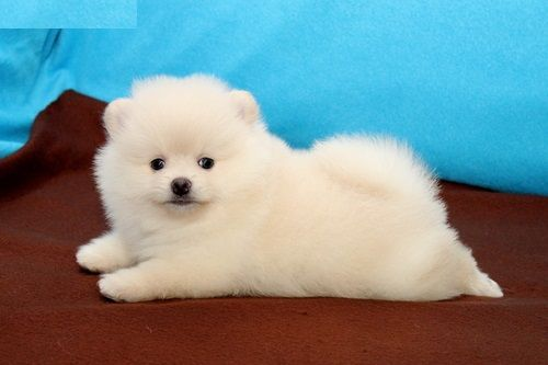 Pomeranian Puppies For Sale Fresno Ca Pomeranian Puppy For Sale Pomeranian Puppy Puppies For Sale