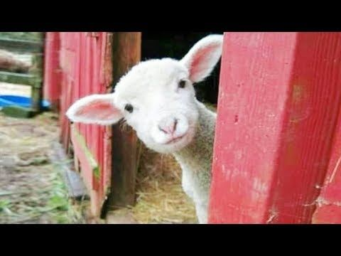 Cute Goat Screaming Compilation Funny And Fails Videos Youtube Cute Animal Memes Funny Animals Funny Animal Memes
