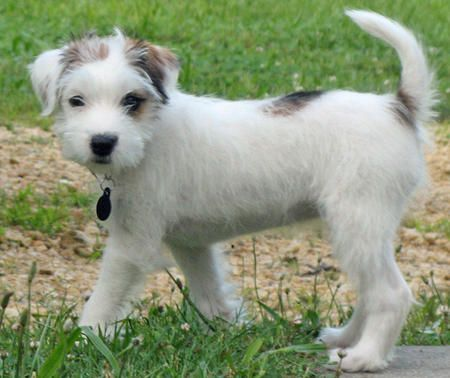 I want a dog.  I like Jack Russells, and the way they tilt their heads when you talk to them!: